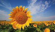 Реализуем гибриды кукурузы,  подсолнечника,  сои и посевной материал СЗР